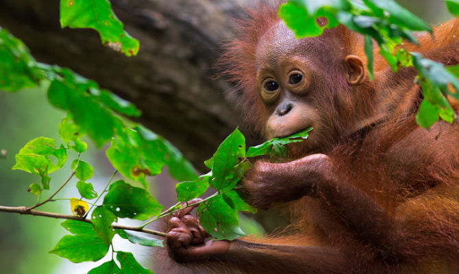 Malesia la foresta del borneo da salvare for Arredo ingross 3 dove si trova