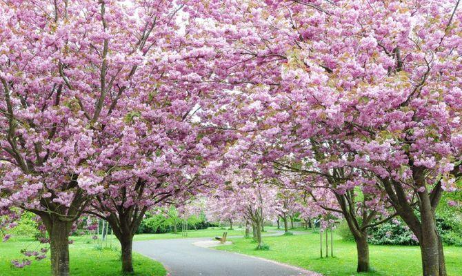 Giappone in fiore - Ciliegio da giardino ...