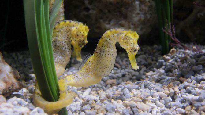 Meraviglie dal mondo degli oceani for Disegni cavallucci marini