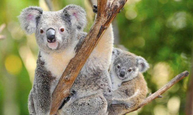 Australia: ecco i Marsupiali più famosi
