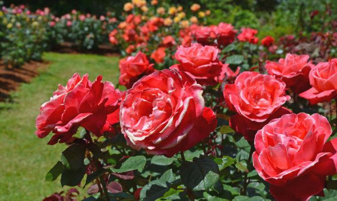 Toscana cavriglia nel roseto privato pi grande d 39 europa for O giardino di pulcinella roma