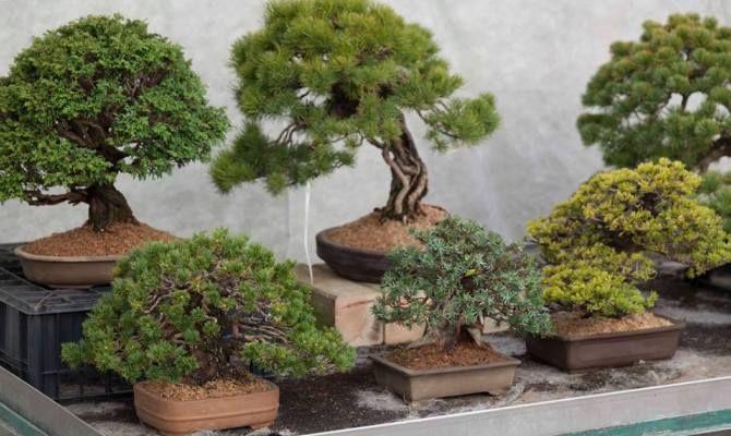 L 39 arte del bonsai in un giardino alle porte di milano for Bonsai italia