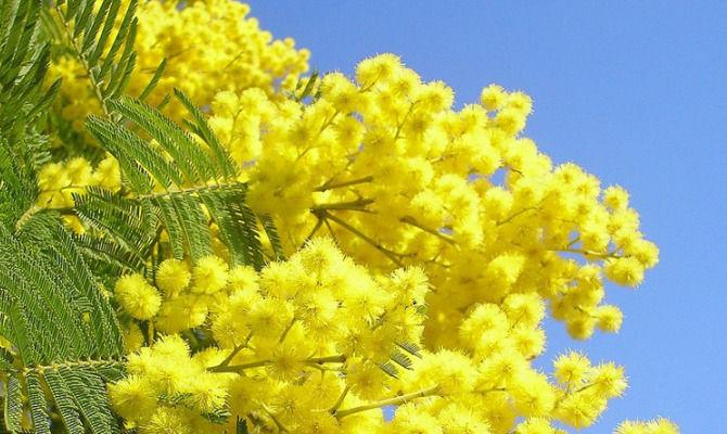 Sagra Della Mimosa Gusto In Giallo Nel Golfo Paradiso