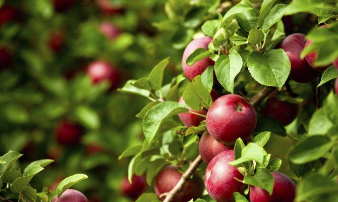 Lombardia la mela che profuma di montagna - Mele fuji coltivazione ...